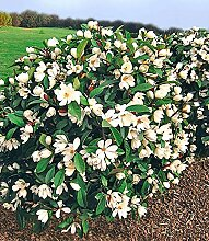 BALDUR Garten Duft-Magnolien-Hecke Fairy,1 Pflanze