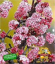 BALDUR Garten Duft-Schneeball Dawn,1 Pflanze,