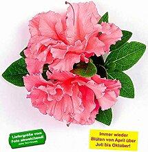 BALDUR-Garten Durchblühende Azalee 'Bloom Champion' pink 1 Pflanze Rhododendron winterhar