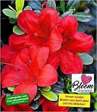 BALDUR-Garten Durchblühende Azalee 'Bloom