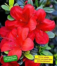 BALDUR-Garten Durchblühende Azalee 'Bloom Champion' rot 1 Pflanze Rhododendron winterhar