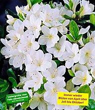 BALDUR-Garten Durchblühende Azalee 'Bloom Champion' weiß 1 Pflanze Rhododendron winterhar