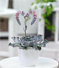 BALDUR-Garten Echeveria Cheyenne,1 Pflanze