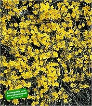 BALDUR-Garten Echter Winter-Jasmin, 1 Pflanze,
