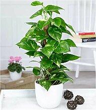 BALDUR-Garten Efeutute am Moosstab, 1 Pflanze