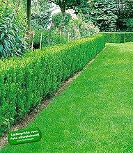 BALDUR-Garten Eiben-Hecke, 10 Pflanzen Taxus