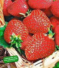 BALDUR-Garten Erdbeere 'Seascape®', 6 Pflanzen Fragaria
