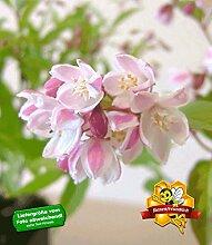 BALDUR-Garten Erdbeeren-Duft-Deutzie, 1 Pflanze, Deutzia hybrida 'Strawberry Fields'