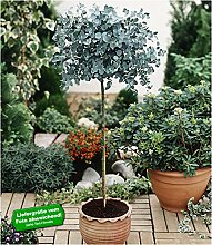 BALDUR-Garten Eukalyptus-Bäumchen 1 Stämmchen