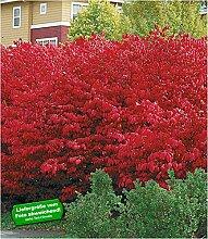 BALDUR-Garten Euyonimus Compact 'Burning