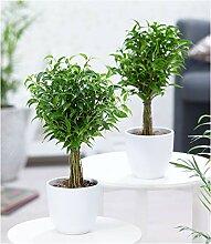 BALDUR-Garten Fikus Stämmchen Duo, 2 Pflanzen