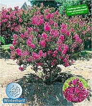 BALDUR-Garten Flieder des Südens, 1 Pflanze