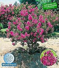BALDUR-Garten Flieder des Südens,1 Pflanze