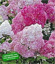 BALDUR Garten Freiland-Hortensie Vanille Fraise®