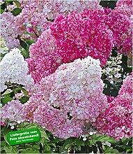 BALDUR-Garten Freiland-Hortensien 'Vanille