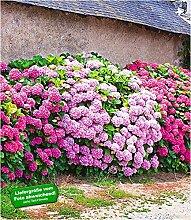 BALDUR Garten Freiland-Hortensien-Hecke