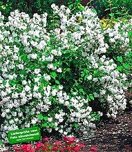 BALDUR-Garten Garten-Jasmin 'Snow Goose', 2 Pflanzen, Philadelphus Snow Goose