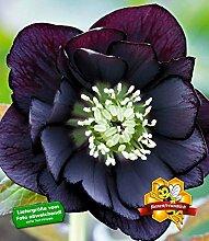 BALDUR-Garten Gefüllte Christrose Black Swan 3