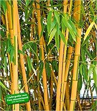 BALDUR-Garten Goldener Peking Bambus, 1 Pflanze