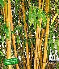 BALDUR-Garten Goldener Peking Bambus,1 Pflanze