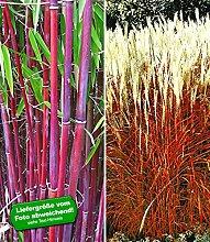 BALDUR-Garten Gräser-Kollektion,2 Pflanzen