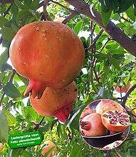 BALDUR-Garten Granatapfel, 1 Pflanze Punica granatum