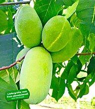 BALDUR-Garten HÄBERLI'S Indianer-Bananen® - veredelte Sorte, Pau Pau (Paw Paw) 1 Pflanze, Asimina triloba
