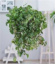 BALDUR-Garten Hängepflanze Cissus, 1 Pflanze