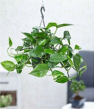 BALDUR-Garten Hängepflanze Efeutute, 1 Pflanze