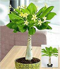 BALDUR-Garten Hawaii-Palme, 1 Pflanze