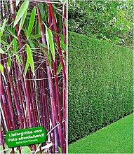 BALDUR-Garten Hecken-Kollektion, 3 Pflanzen 1