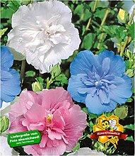 BALDUR-Garten Hibiskus Chiffon-Kollektion 3