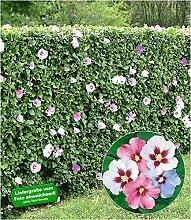 BALDUR-Garten Hibiskus-Hecke, 5 Pflanzen, Hibiscus