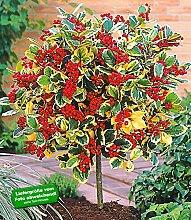 BALDUR-Garten Ilex-Stämmchen 'Golden King', 1 Pflanze, Ilex x actaclerensis
