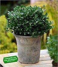 BALDUR-Garten Immergrün Luxus® Globe der