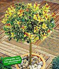 BALDUR-Garten Immergrün Osmanthus-Stämmchen Duftblüte, 1 Pflanze