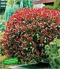 BALDUR-Garten Immergrün Photinia-Hecke 'Red