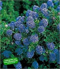 BALDUR-Garten Immergrüne Säckelblume Blauer