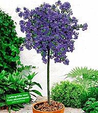BALDUR-Garten Immergrüne Säckelblume Ceanothus-Stämmchen 'Blue Mound', 1 Pflanze