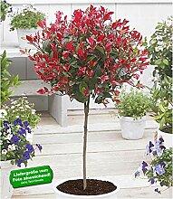 BALDUR Garten Immergrünes Photinia-Stämmchen