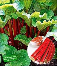 BALDUR Garten Immertragende Rhabarber Pflanze