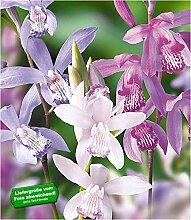 BALDUR-Garten Japanorchidee Bletilla Mix 3 Stück