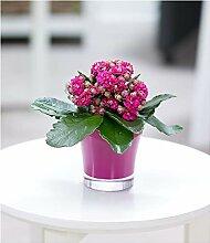 BALDUR-Garten Kalanchoe rosa + Teelicht Übertopf