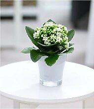 BALDUR-Garten Kalanchoe weiß + Teelicht Übertopf