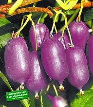 BALDUR-Garten Kiwi 'Ken´s Red®', 1 Pflanze Actinidia arguta