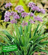 BALDUR-Garten Knobi-Kraut,3 Pflanzen Tulbaghia violacea gegen Maulwürfe & Wühlmäuse Kaplilie Wilder Knoblauch Zimmerknoblauch