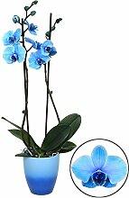 BALDUR-Garten Königsblaue Phalaenopsis, 2 Triebe,
