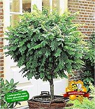 BALDUR-Garten Kugel-Akazien-Stämmchen, 1 Pflanze,