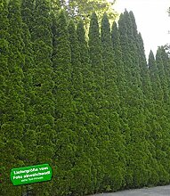 BALDUR-Garten Lebensbaum-Hecke 'Smaragd'