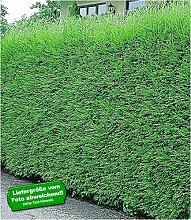 BALDUR-Garten Leyland-Zypressen-Hecke 5 Pflanzen